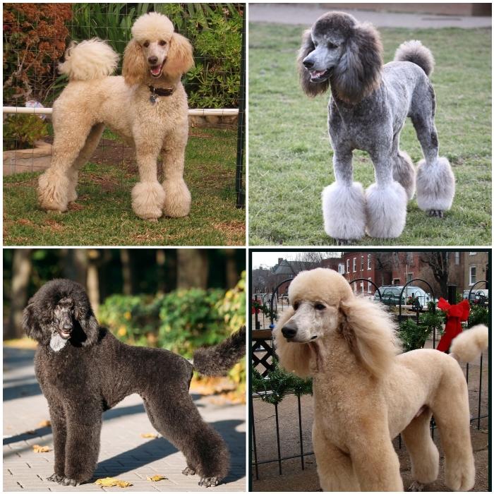 tipo de caniche (poodle) estandar, grande o gigante
