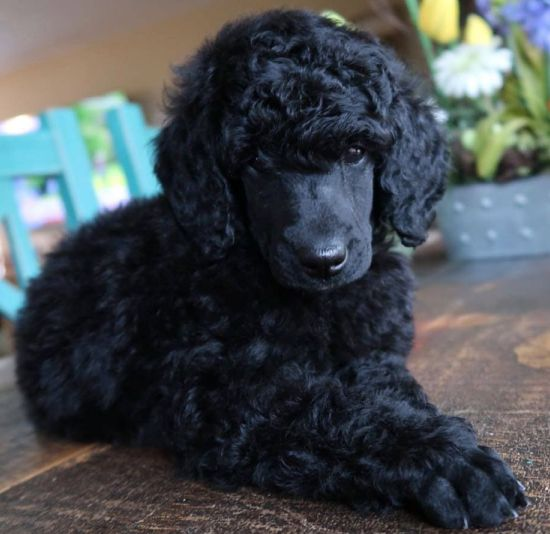 Caniche (Poodle) mediano