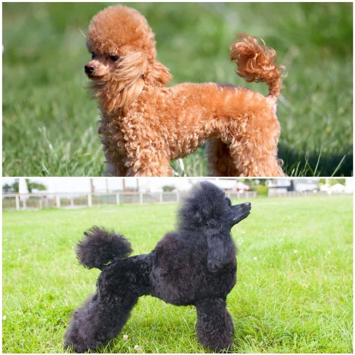 Caniche (poodle) miniatura o enano