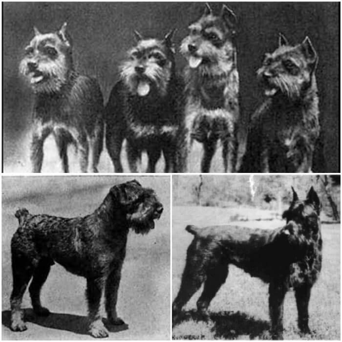 Fotos antiguas de perros schnauzer