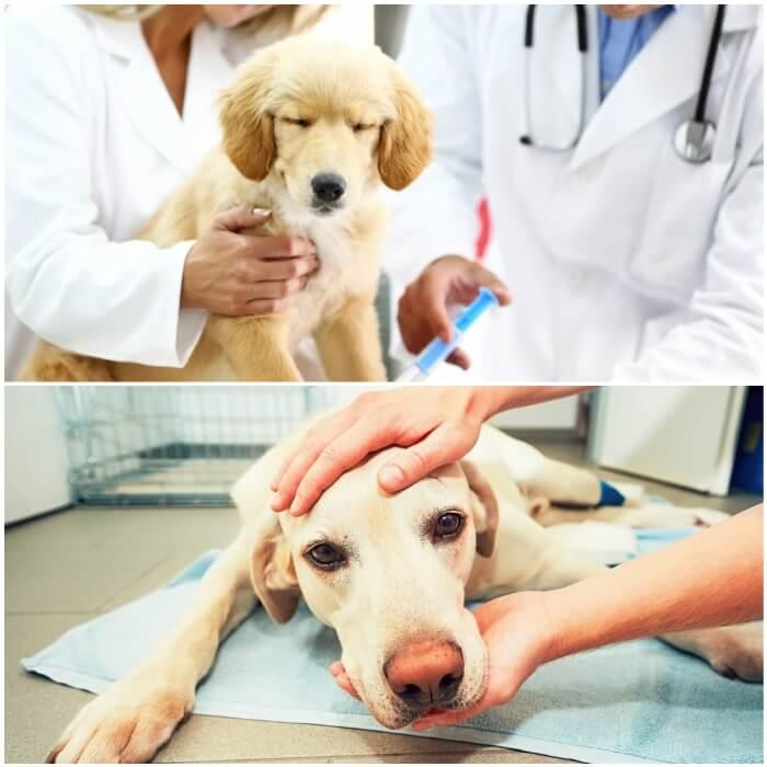 Vómitos en perros-diagnóstico y tratamientos