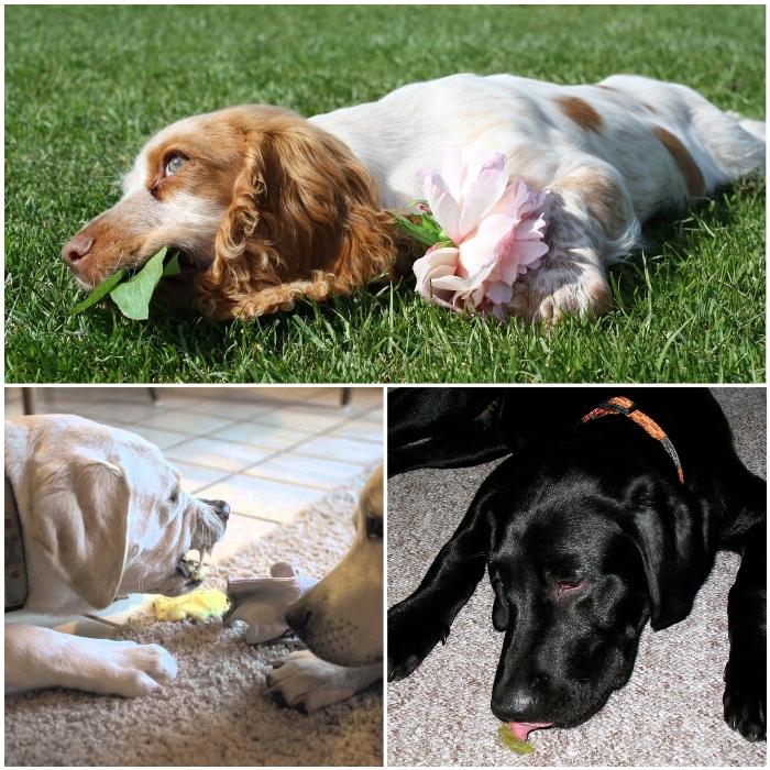 Colores de vómito en los perros