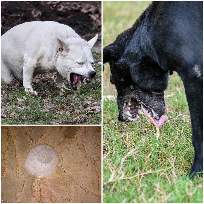 Vómito blanco en perros
