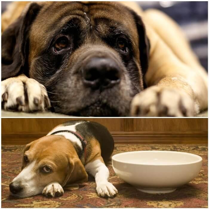 Vómito marrón en perros