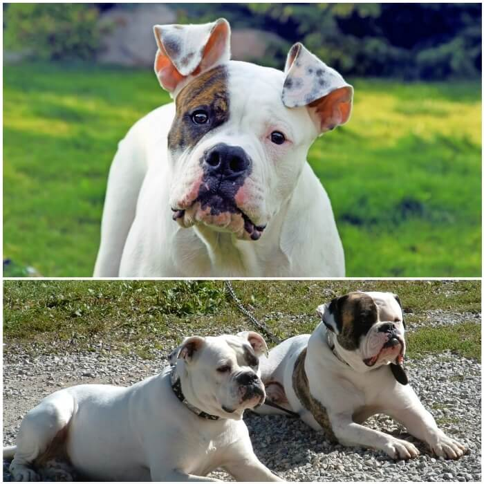 Pitbull bulldog americano