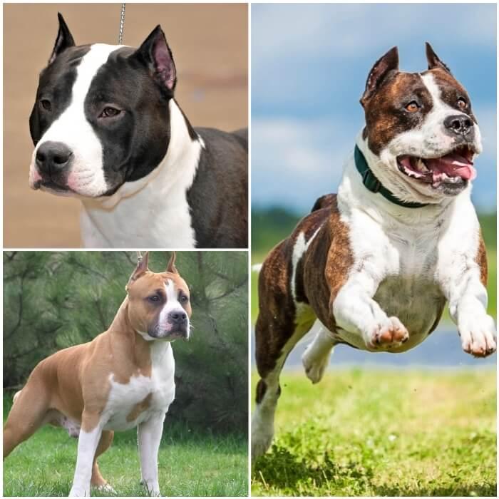 Pitbull Staffordshire terrier americano