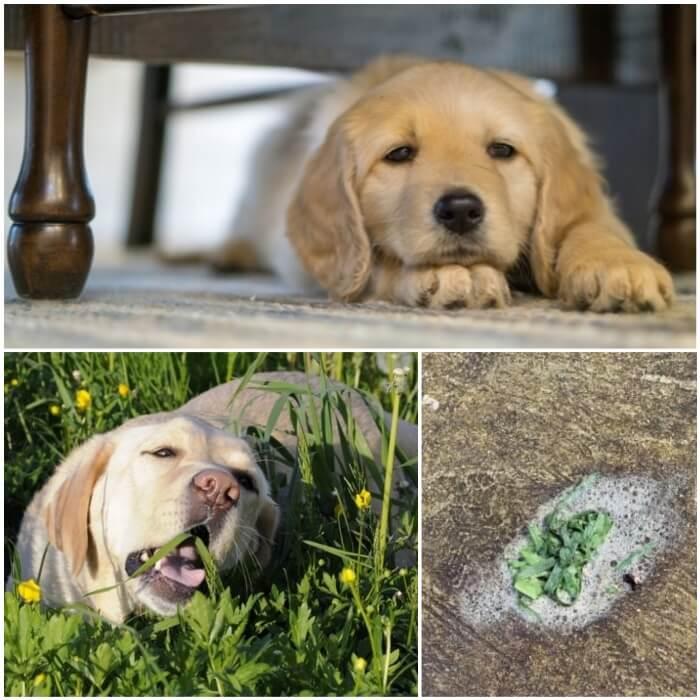 Vómito verde en los perros