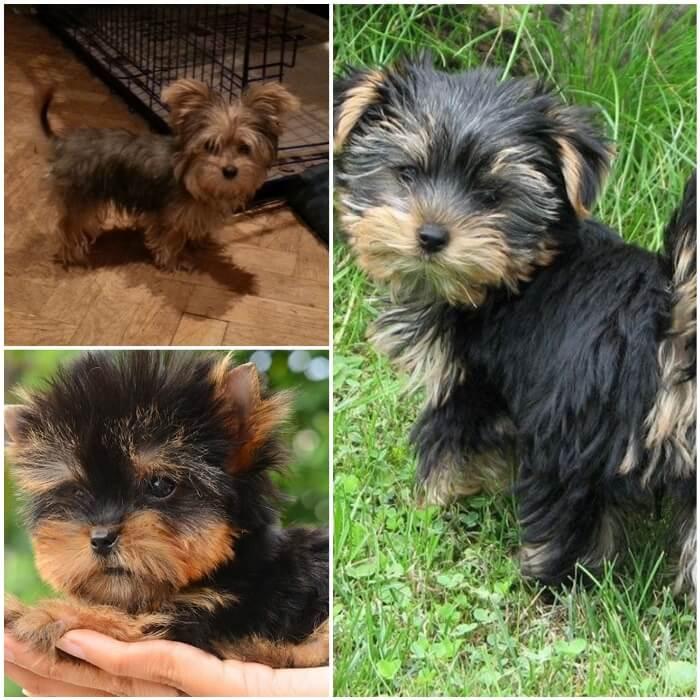 Tipos de yorkshire terrier mini y negro