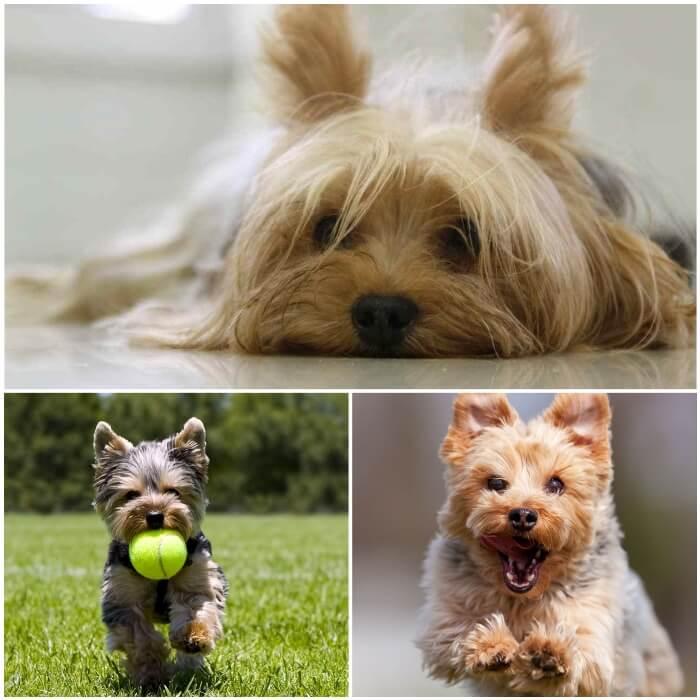 Comportamiento y carácter del yorkshire terrier