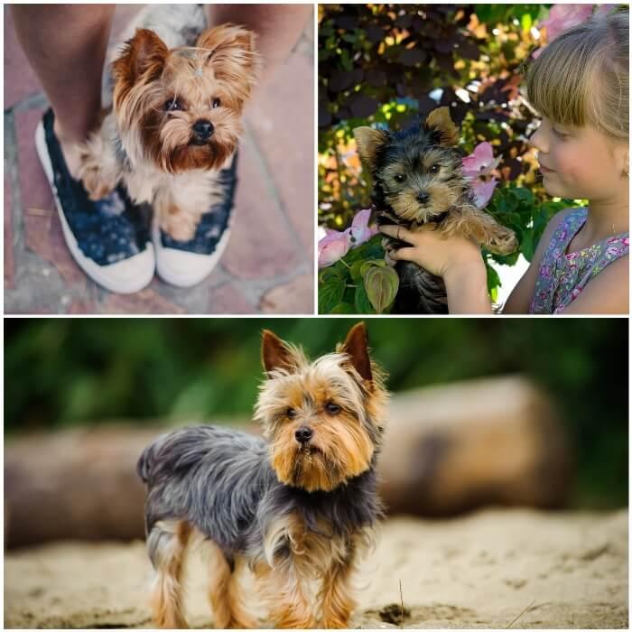 Personalidad del yorkshire terrier