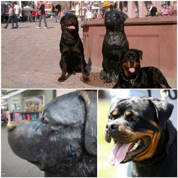 Historia y surgimiento de la raza rottweiler