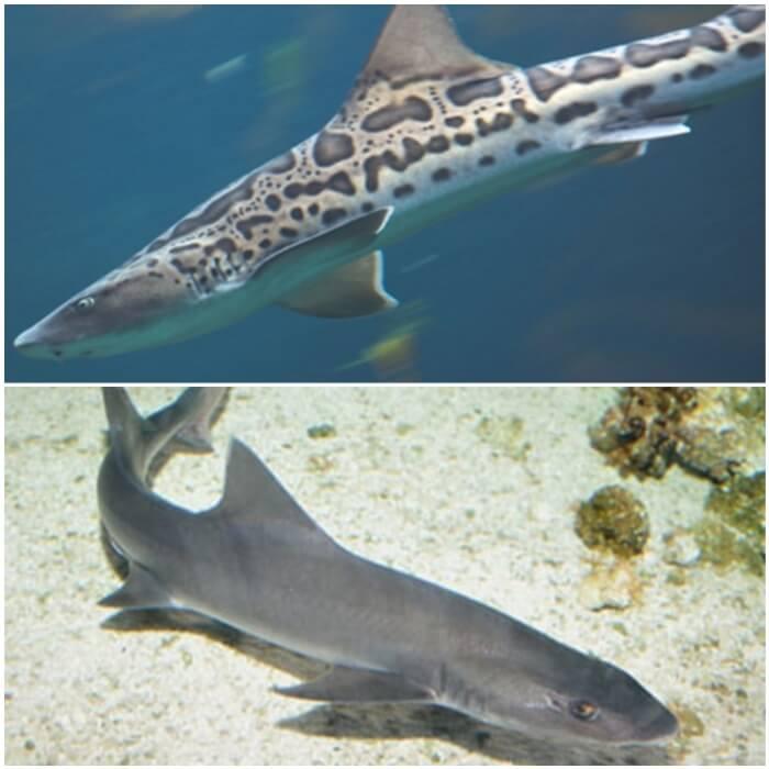 Tiburones de acuario leopardo japonés y musola gris