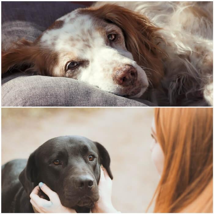 Tramadol para el dolor en perros