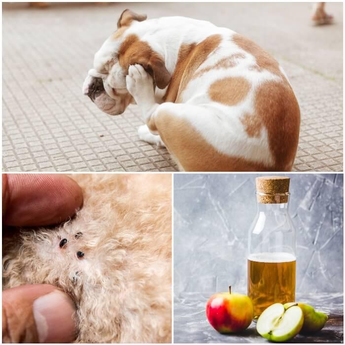 Vinagre para las pulgas en los perros