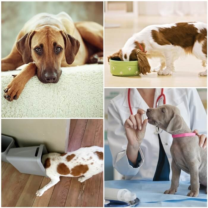 Causas de diarrea y vómito en perros