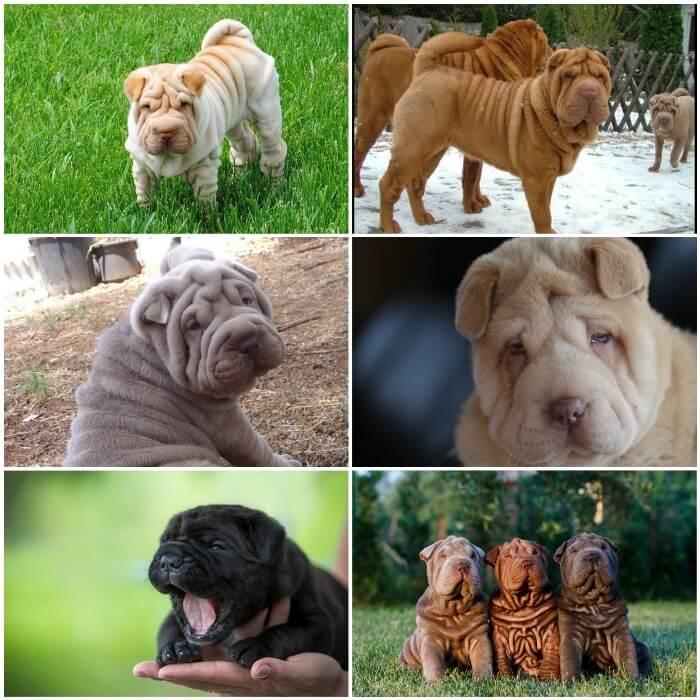 Perros shar peis de diferentes colores