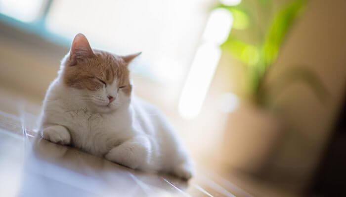 Diabetes en los gatos