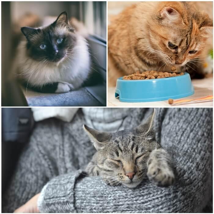 Gatos con mayor riesgo de tener diabetes