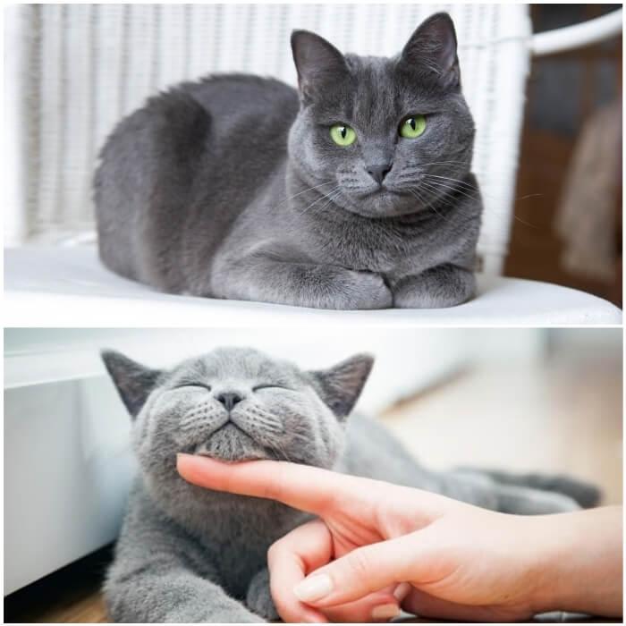 Gatos Azul ruso