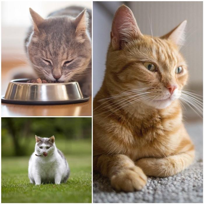 Gato obeso con diabetes