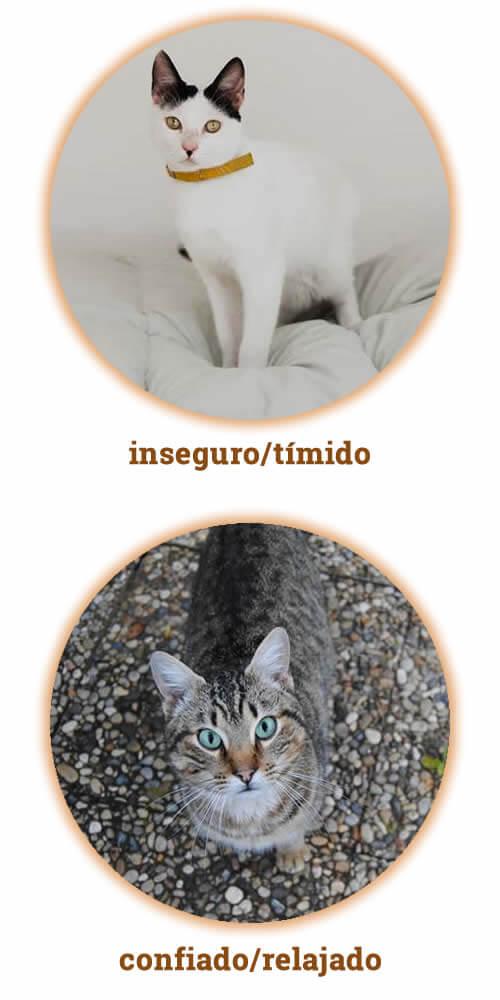 gato inseguro y gato confiado