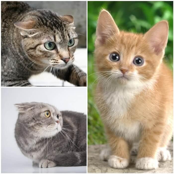 gatos mostrando diferentes orejas
