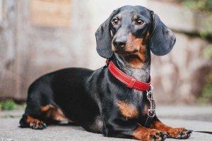 perro tejonero negro y óxido acostado
