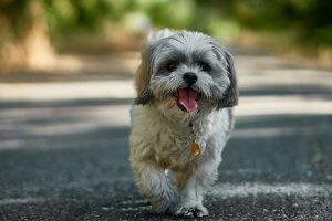 shih tzu caminando con la lengua afuera