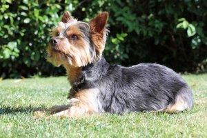 silky terrier en posición atenta y orejas erguidas