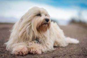 perro blanco con mucho pelo
