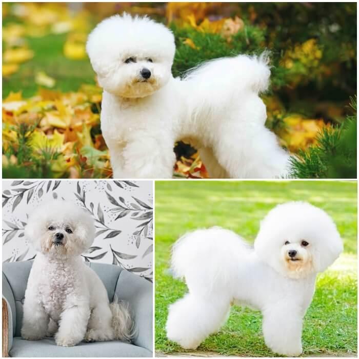 perro peludo blanco bichón frisé