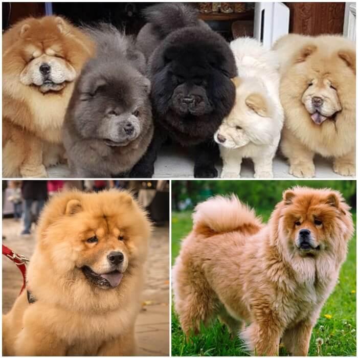 perros chow chow con mucho pelo