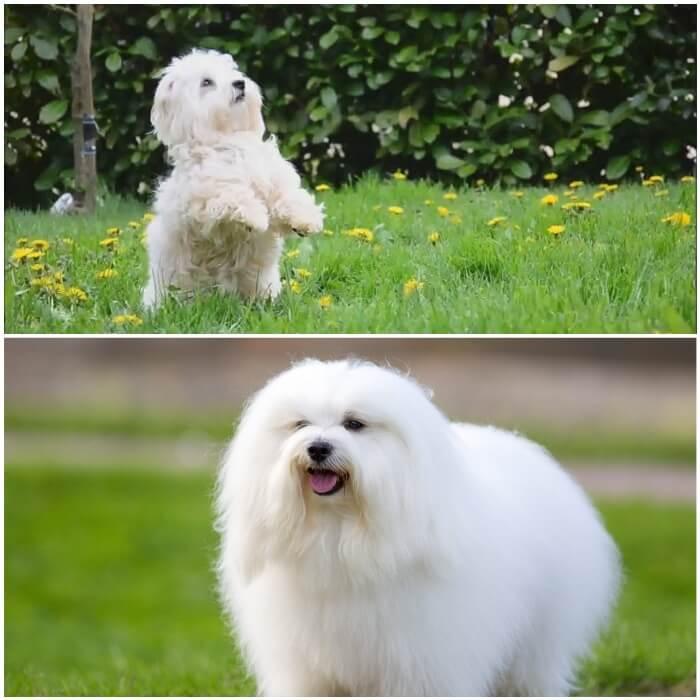 perro peludo blanco cotón de Tulear