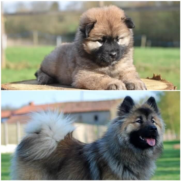 cachorro y adulto eurasier