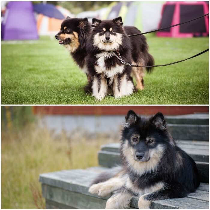 perros peludos lapphund finlandés