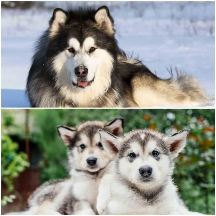 cachorros y adulto malamute de Alaska