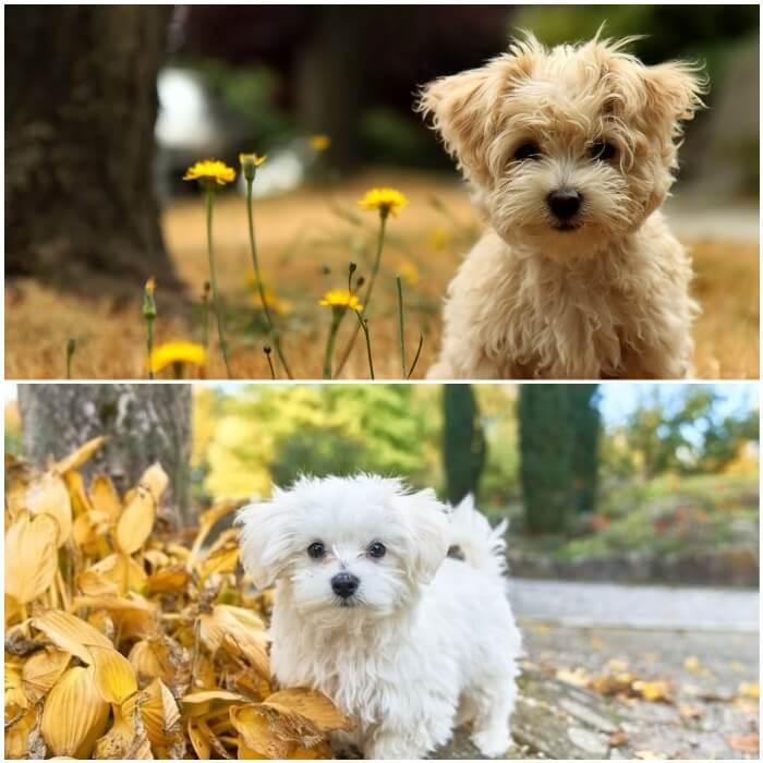 perro pequeño blanco de la raza maltés