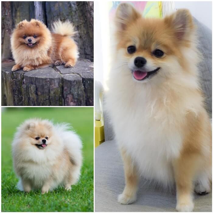 perro pomerania pequeño y peludo