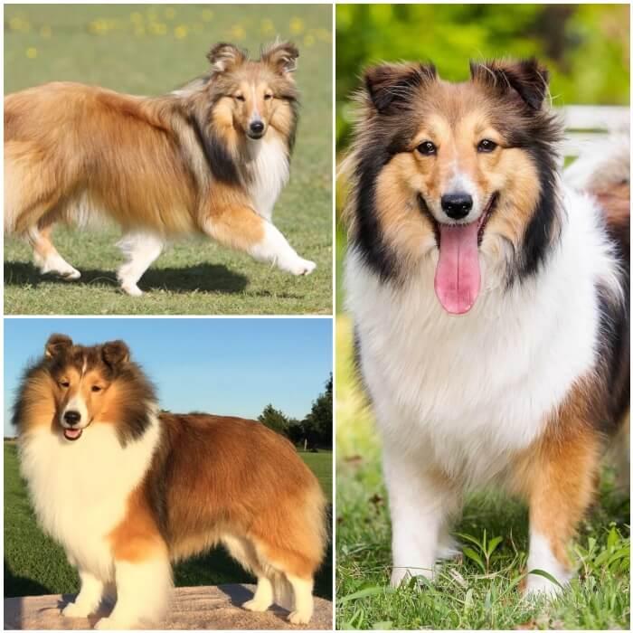 perro muy peludo shetland-sheepdog