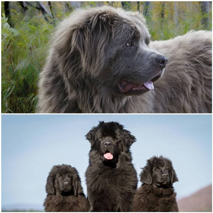 perro terranova peludo y grande