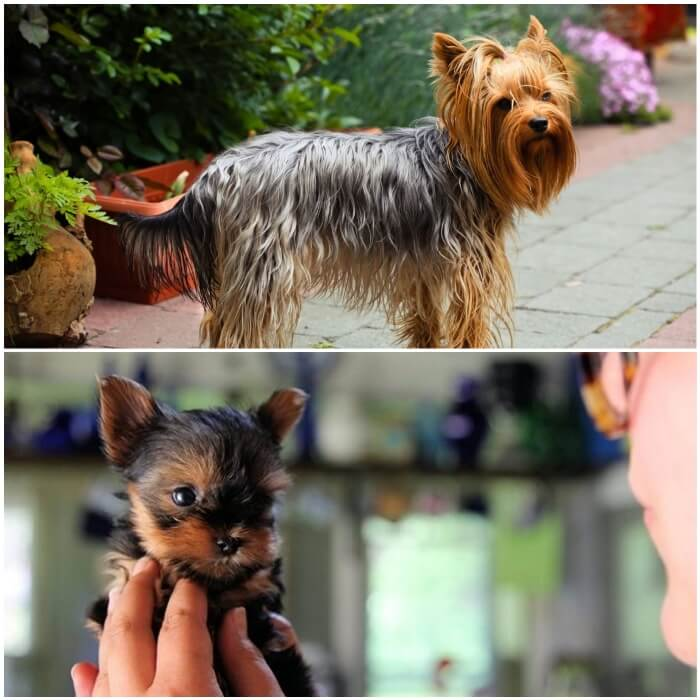 yorkshire terrier pequeñito
