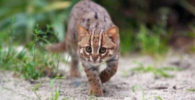 Gato pequeño caminando