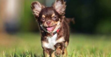 perro pequeño caminando en la yerba
