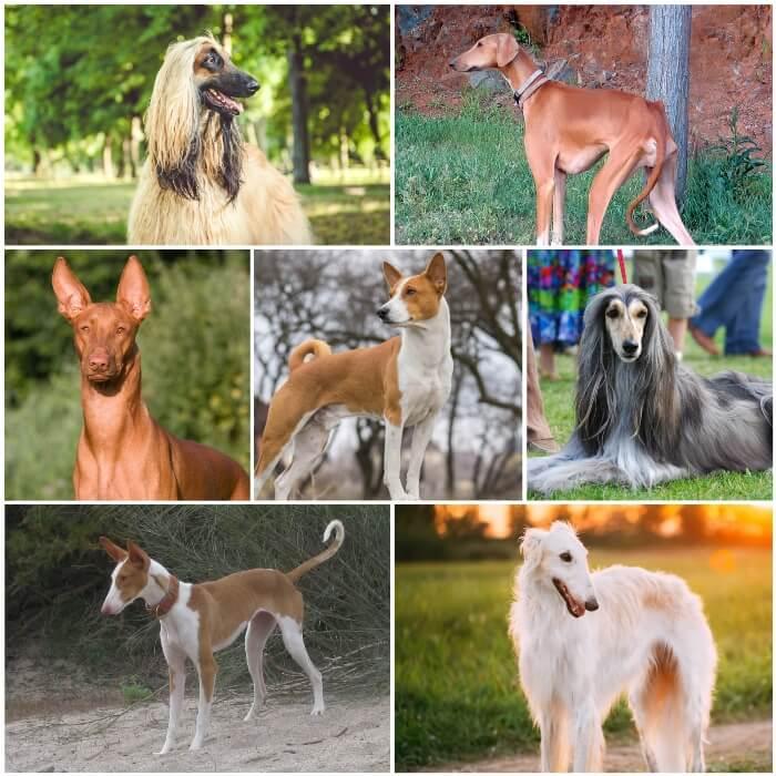 collage de perros sabuesos tipo lebrel