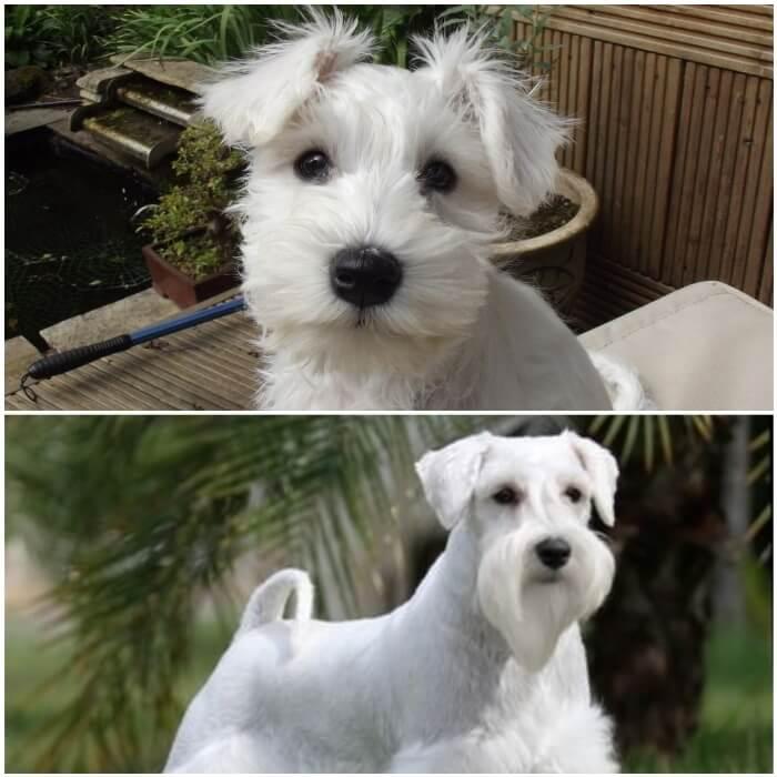 perro schnauzer miniatura blanco