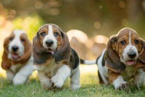 perros sabueso caminando en la hierba