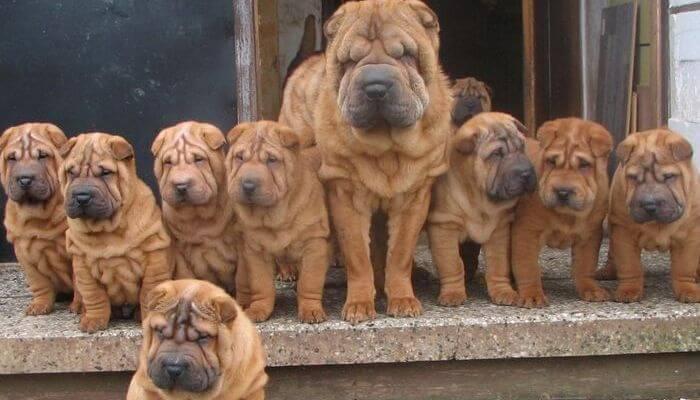 familia de shar peis