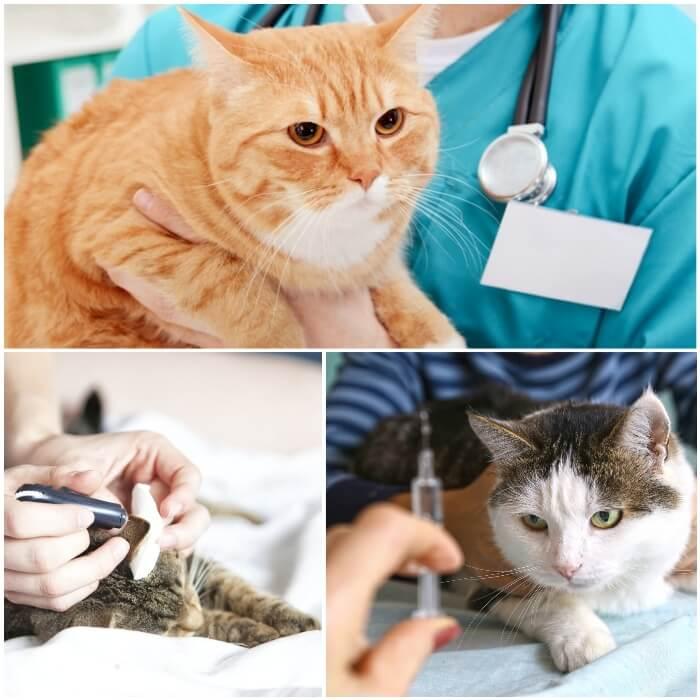 Gato diabético en el veterinario