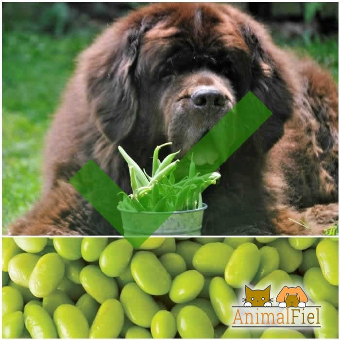 perro comiendo habichuelas