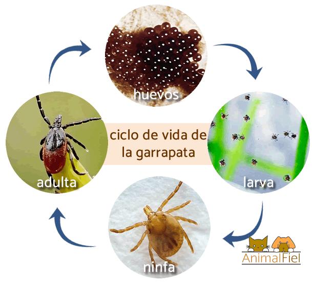 representación del ciclo de vida de la garrapata